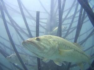 Bass in Ambush Mode on Artificial Habitat