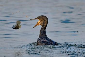 Cormorant-tossing-fish