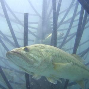 Bass lying in wait to ambush prey