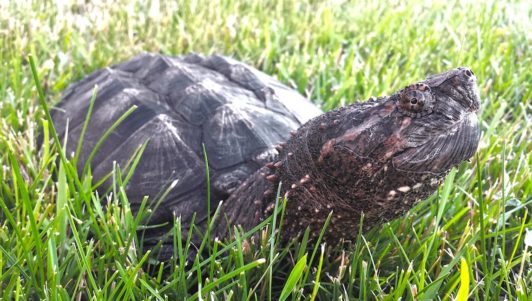 Alligator Snapping Turtle, an aggressive type of turtle
