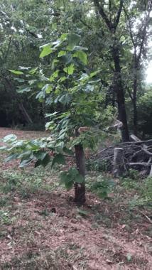 Catalpa tree freshly planted