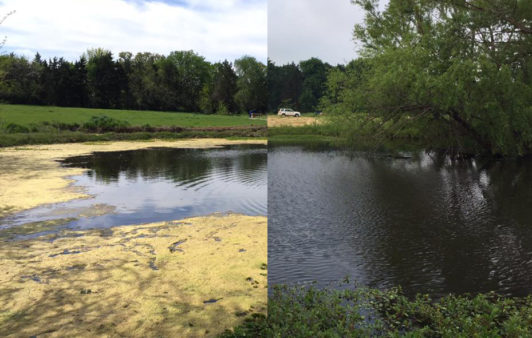 Before and After Pond Algae Control Fish