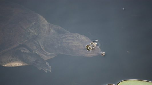 An unusual type of turtle, the Softshell Turtle