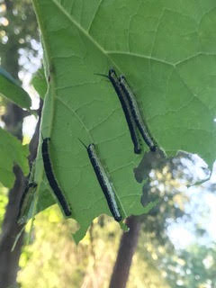 Insects on a catalpa tree leaf
