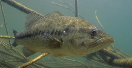 Largemouth Bass lurking