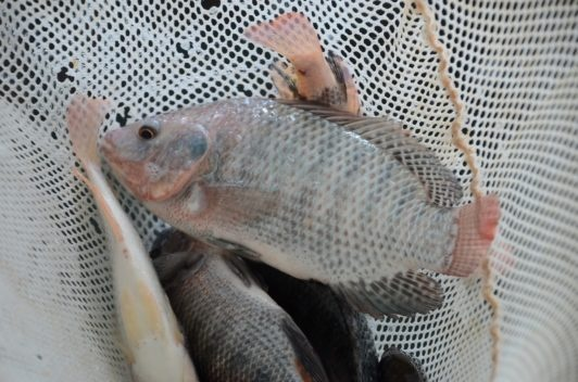 Mozambique Tilapia: The Best Algae Eating Fish For Ponds