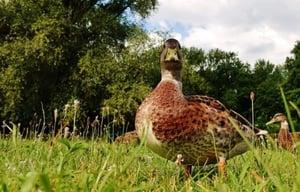 Mallard duck standing in grass