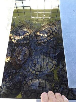 Turtles caught in a Pond King Floating Turtle Trap