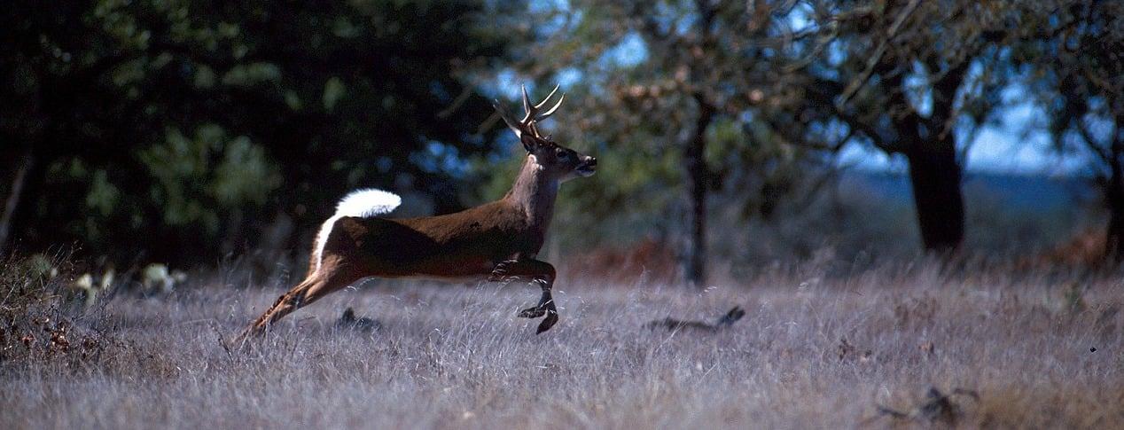 White-tailed buck running