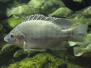 Mozambique Tilapia