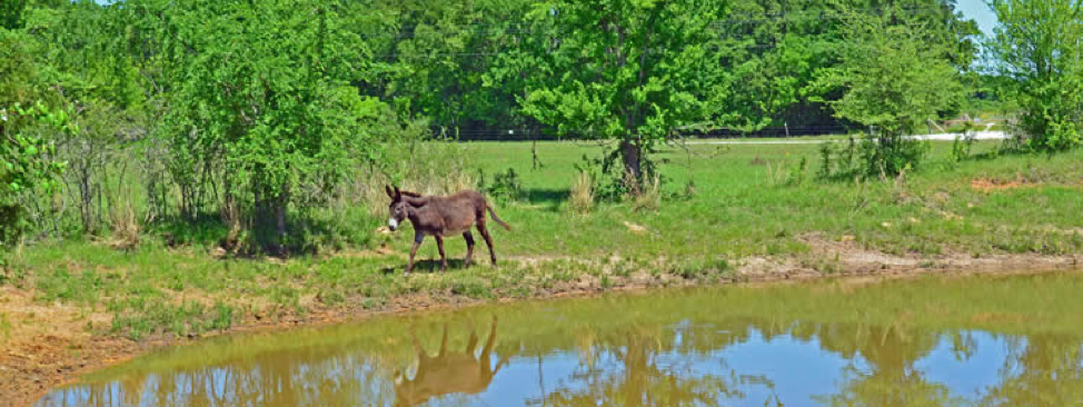 Trees and a donkey near a stock pond