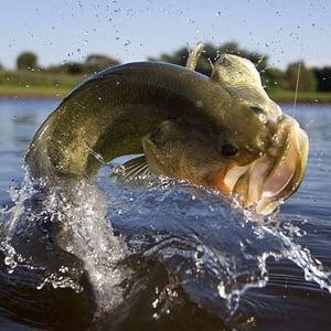 harvesting largemouth bass