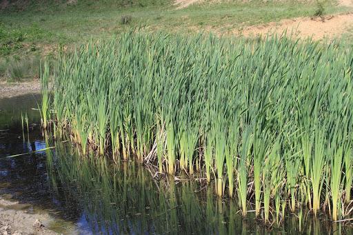 cattails-vegetation