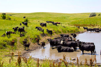 cows-in-pond