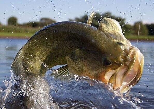 Largemouth Bass Striking a Lure