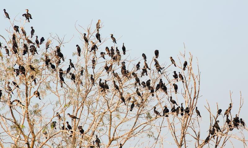 flock-of-roosting-cormorants