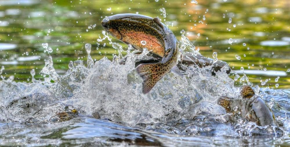 rainbow-trout-breaching
