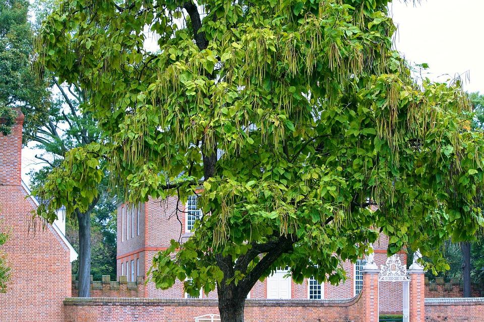 Catalpa-Tree