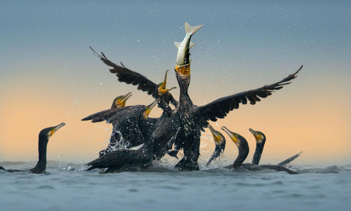 Group of Cormorants Feeding