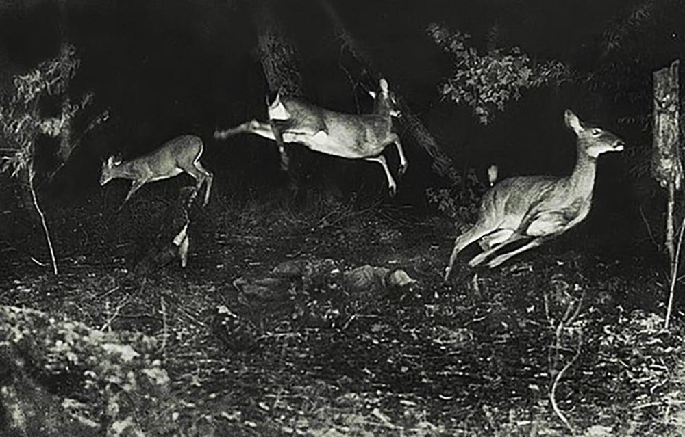 Deer_at_night