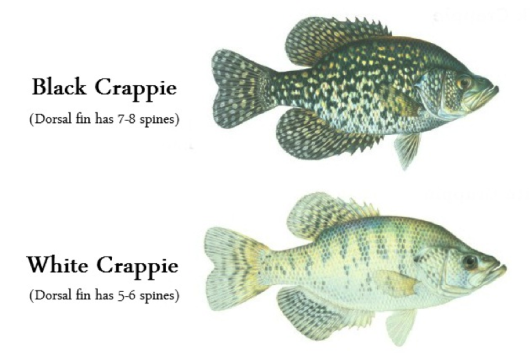 Can I Add Crappie to My Small Pond?