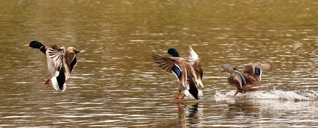 Mallard ducks landing on water