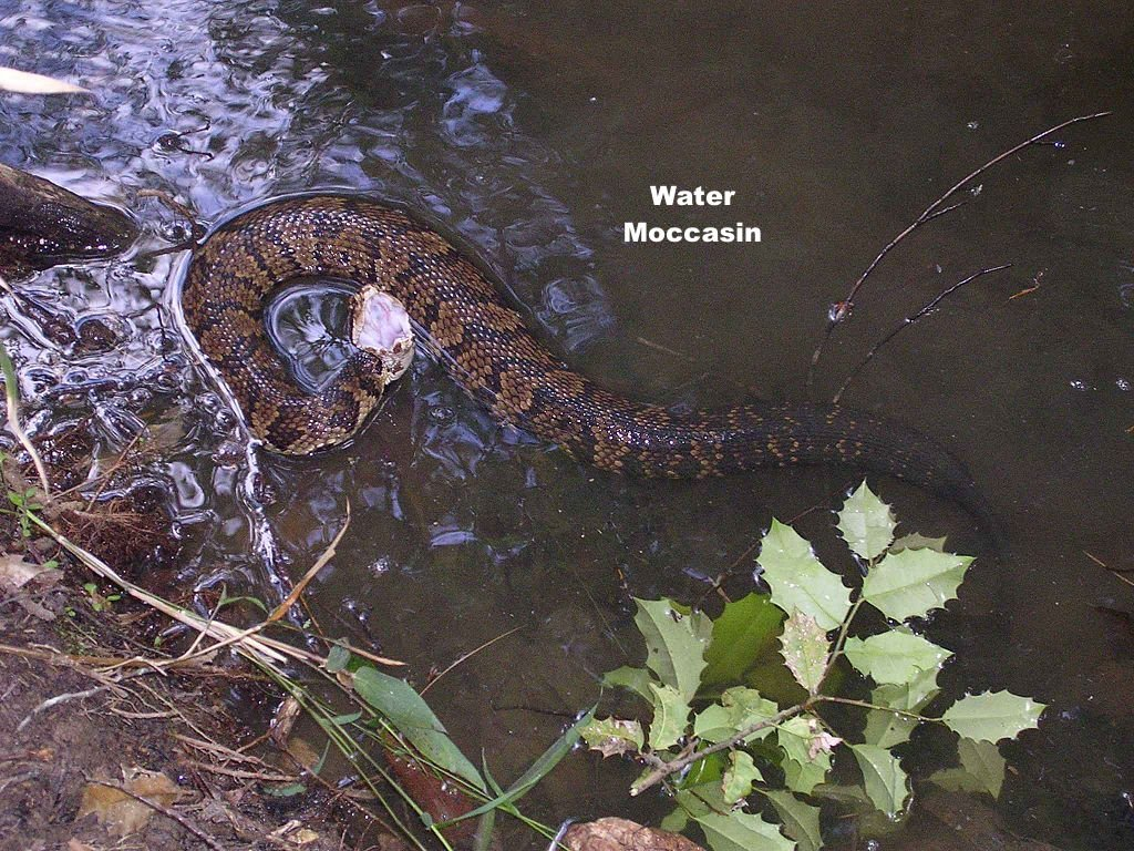 angry-water-moccassin-in-water-annotated