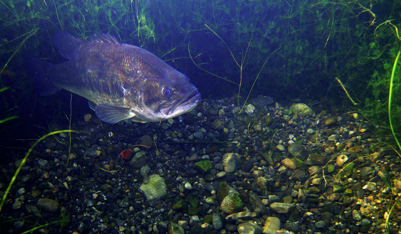 largemouth bass on spawning bed